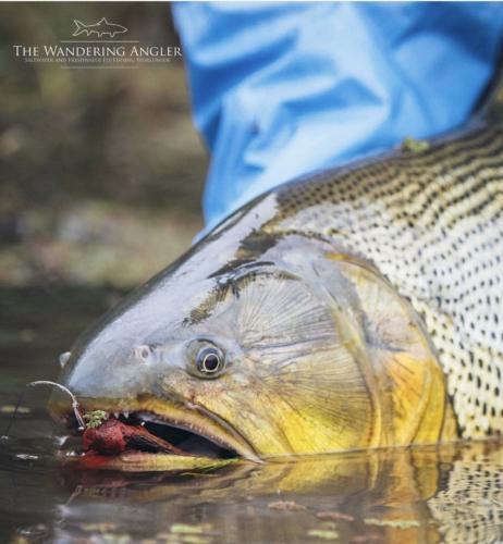 The Wandering Angler - Argentina Golden Dorado007