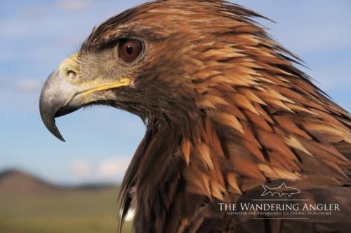 The Wandering Angler - Mongolia taimen0014